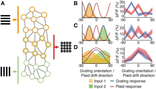 "Pattern integration and hypothesized sub-network circuitry. (A) Schematic network diagram showing excitatory sub-networks integrating information from two grating components. (B–D) Simple integration of tuned input components (shaded areas) can produce a wide range of responses to both gratings (solid curves) and plaids (dashed curves). (B) A classical component cell produced by a single narrow-bandwidth orientation- or direction- tuned input (orange shading). Direction-tuned input and responses are shown over 180° of orientation, to match our experimental paradigm. Shown to the right is a neuron with this class of response (see also trace I in Figure 1D). (C) An example cell that integrates two narrow-bandwidth input components tuned to two different directions (orange and green shading). Shown to the right is a neuron with this class of response. (D) Integration of broadly tuned input components (orange and green shading), produces a broadly tuned ""pattern"" cell response to drifting gratings (blue curve) and plaid (red curve); shown to the right is a neuron with this class of response (see also pattern classified cell c2 in Figure 1D)."