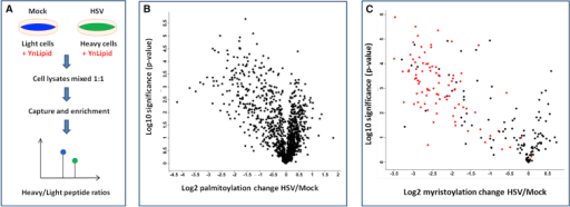 Quantitative Proteomics Analysis of Host Protein Fatty Acylation During HSV Infection in RPE-1 Cells(A) SILAC-based quantitative proteomics workflow.(B) Virus-induced changes to protein palmitoylation (n = 4) plotted against statistical significance of the ratio measured.(C) Virus-induced changes to protein myristoylation (n = 4) plotted against statistical significance. Black, proteins with myristoylation requirement (N-terminal Gly); red, validated NMT substrates (Broncel et al., 2015; Thinon et al., 2014).In (B) and (C) each data point represents a protein or a protein group (Cox et al., 2011).