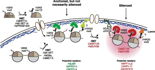 Histone modifications regulate perinuclear sequestration. A model of known and suggested histone tail modifications involved in heterochromatin anchoring at the nuclear envelope. The deposition of histones carrying H3K9me1 or H3K9me2 could be sufficient to ensure localization at the nuclear envelope according to work with the worm Caenorhabditis elegans [74]. Potential methyl readers that might contribute to anchoring include the lamin B receptor (LBR) in mammals and a C. elegans chromodomain protein (CEC-x) in worms. Readers of the H3K9me3 modification that ensure silencing include worm homologs of heterochromatin protein 1 (HP1) and LIN-61. Other factors implicated in tissue-specific gene repression and sequestration include cKROX and HDAC3, or an unknown reader of H4K20me3. See text for further details