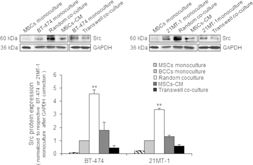 Physical contact of MSCs with breast cancer cells activates Src.(a) Upper panel shows representative immunoblots of Src detected in BT-474 and 21MT-1 cells co-cultured with MSCs, transwell co-culture or MSCs-CM. (b) Lower panel shows respective densitometry of bands; monocultures of BT-474 and 21MT-1 were used as control. Asterisks represent statistical significant differences in change in expression of Src in co-cultures samples compared with monoculture control. Data are mean ± SD; n = 3 independent experiments; **p < 0.01 compared with control.