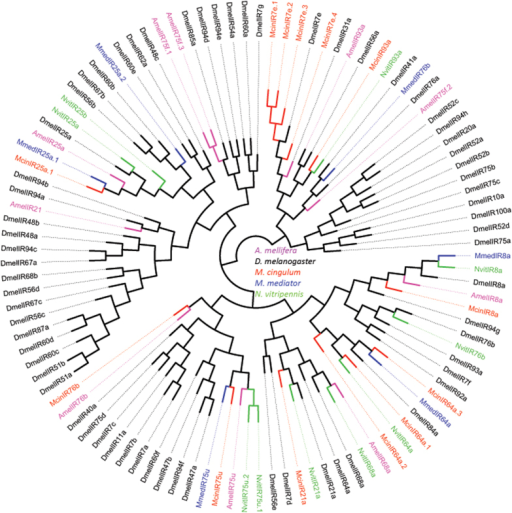 Phylogenetic tree based on protein sequences of ionotropic receptors (IRs).Included are IRs from M. cingulum, M. mediator (Mmed), A. mellifera (Amel), D. melanogaster (Dmel) and N. vitripennis (Nvit).