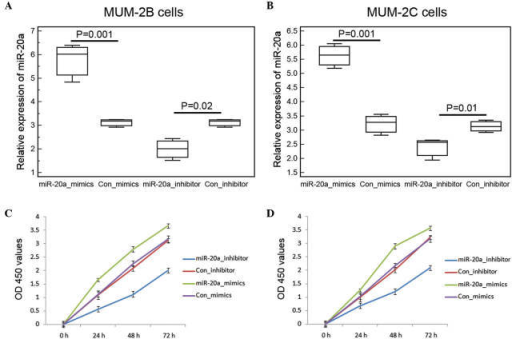 Upregulation of miR-20a promotes UM cell proliferation. The expression levels of miR-20a were significantly elevated in the (A) MUM-2B and (B) MUM-2C cells transfected with miR-20a mimics, but were effectively reduced following transfection with miR-20a inhibitor. In the cell proliferation assay, growth rates were suppressed in the (C) MUM-2B and (D) MUM-2C cells following transfection with miR-20a mimics, with inhibitory efficiencies were 40.38 and 39.66%, respectively. By contrast, the miR-20a inhibitor promoted MUM-2B and MUM-2C cell proliferation. Data are presented as the mean ± standard deviation. UM, uveal melanoma; miR, microRNA; Con, control; OD, optical density.