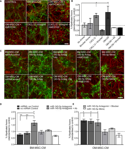 CXCL12 Promotes In Vitro CNS Myelination which is Regulated by miR-140-5p(A) Co-cultures stained for myelin (green PLP) and axons (red SMI-31) treated with OM-MSC-CM, OM-MSC-CM in the presence of antibody to CXCL12 (OM-MSC-CM + anti-CXCL12), or CXCR4 blocker (OM-MSC-CM + AMD3100), CXCL12 (100 ng/ml), or CXCL12 in the presence of AMD3100. Scale bar represents 100 μm.(B) CXCL12 and OM-MSC-CM increased myelination significantly compared with control levels (demarcated by the dotted line). AMD3100 blocker and anti-CXCL12 abolished the pro-myelinating effect of OM-MSC-CM and CXCL12 but did not affect myelination on their own (n = 4 patient samples, mean ± SEM, ∗p < 0.05, one-way ANOVA, Tukey's multiple comparison).(C) Representative images of co-cultures stained for myelin (green PLP) and axons (red SMI-31) treated with CM from BM- or OM-MSCs transfected with miRNA control, antagomir (140-5p Antag), or miR-140-5p mimic and miR-140-5p antagomir-derived CM in the presence of anti-CXCL12 (140-5p + Ab) or the blocker (140-5p + AMD3100). Scale bar represents 100 μm.(D) CM from BM-MSCs treated with miR-140-5p antagomir led to a significant increase in myelination compared with control (n = 6 patient samples for all). The antagomir-induced increase could be reduced to control levels in the presence of anti-CXCL12 or AMD3100 blocker (n = 3 patient samples for both). CM from BM-MSCs induced by the miR-140-5p mimic also did not promote myelination.(E) OM-MSC-CM collected after miR-140-5p mimic transfection significantly reduced the pro-myelinating effect of OM-MSCs while transfection with antagomir had no effect (n = 3 patient samples). In (D) and (E), mean ± SEM, ∗p < 0.05, ∗∗p < 0.01, one-way ANOVA, Tukey's multiple comparison.Dotted horizontal lines demarcate control levels, vertical dotted lines detail experimental comparisons made to control.