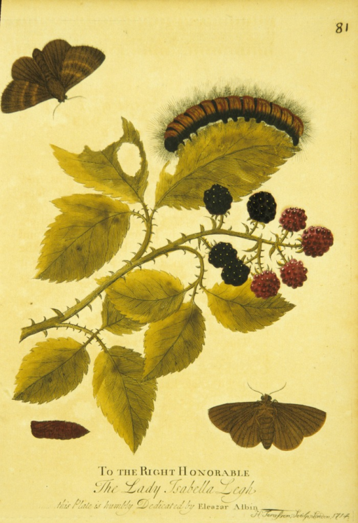 <p>Colored illustration of the lifecycle of a moth, from caterpillar to moth.</p>