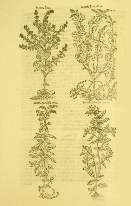 <p>Full-page woodcut of four types of mint plants.</p>