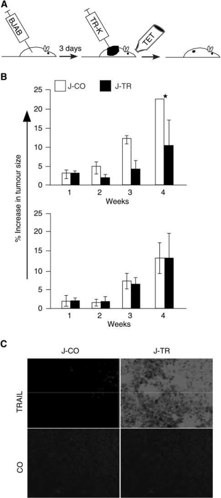 Jurkat-TRAIL cells inhibit tumour growth of xenografted BJAB cells. (A) Schematic representation of the experiment. Athymic nude mice were xenografted with 5 × 107 BJAB cells. After 3 days, 5 × 107 Jurkat-TRAIL or Jurkat-CO cells were injected intratumorally. To switch on the Tet-system, tet (1 mg ml−1) was added to the drinking water, which was sweatened with 5% glucose for the duration of the experiment. (B) Upper panel: tumour growth of BJAB xenografts, injected with switched on Jurkat-TRAIL (black bars) or Jurkat-CO cells, was weekly measured during a period of 4 weeks. Data are presented as the means of eight animals and s.d. are shown (*=13.08). Lower panel: nude mice were xenografted with 5 × 107 Kelly cells and treated as described above. Data are presented as the means of four animals and s.d. is shown. (C) Cryosections of BJAB xenografts harvested 3 days upon switching on TRAIL expression were stained with a specific rabbit polyclonal anti-TRAIL antibody, followed by immunofluorescence detection. Staining or the absence of the primary antibody served as control (CO). The representative results shown are from one of three different experiments.