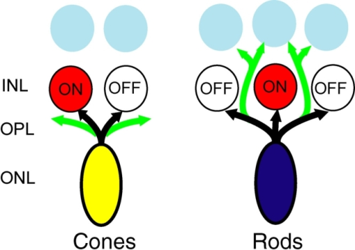 Attraction and repulsion of rod and cone neuritic growth to novel partners may contribute to the remodeling of retinal circuits in disease. In disease, as in vitro, rod cells are attracted to multipolar cells that lie in the inner nuclear layer (INL), whereas cone cells tend to form new growth near adjacent bipolar cells. Black arrows indicate normal axonal processes of photoreceptor cells in the retina; green arrows show new growth made in retinal disease. Other abbreviations used: OPL, outer plexiform layer; ONL, outer nuclear layer.