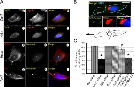 Gαi3 and GIV localize at the centrosome/MTOC and Gαi3 is necessary for centrosome repositioning. (A) Deconvolved images through the centrosomes demonstrating the localization of Gαi3 and GIV on centrosomes. HeLa and Cos7 cells were permeabilized, fixed, and costained with a centrosome marker (γ-tubulin or pericentrin) and Gαi3 (a–f), GIV (j–l), or overexpressed V5-GIV (g–i). Bar,10 μm. (B) Schematic illustration (bottom) of the centrosome repositioning assay performed on HeLa cells expressing GFP-Centrin1. Cells located at the edge of a wound are scored positive in which the centrosome (GFP-Centrin1, green) and Golgi (Man II, red) are positioned in front of the nucleus (DAPI, blue) within the 120° trident facing the direction of the wound (arrow). The white box indicates the area magnified below. Bar, 10 μm. (C) Bar graph showing the percentage of cells at the wound edge that achieved centrosome repositioning by 8 h after wounding. Gαi3-depleted cells failed to reposition their centrosomes and transfection of Gαi3wt restored this defect. GIV or Gαs-depleted cells were similar to controls (64%). Results (200–400 cells per experiment; n = 3) are shown as mean ± SEM. *, P < 0.001; #, P > 0.001 (compared with scr siRNA cells).
