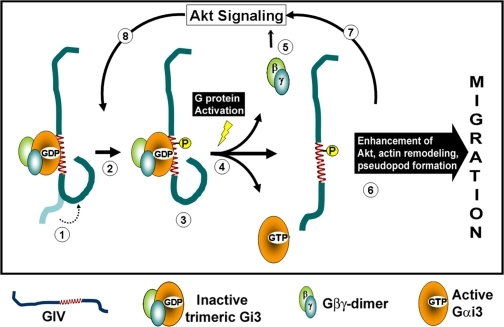 Working model. (1) GIV preferentially and avidly binds to inactive GDP-bound Gαi3. Interaction with Gαi3 induces a change in conformation of GIV (dotted arrow). In a quiescent cell, this step is likely to occur predominantly on vesicles near the Golgi where Gαi3 and GIV were previously shown to colocalize. (2) Upon a chemotactic stimulus, Akt signaling is initiated and results in phosphorylation of GIV at S1416. This critical phosphorylation step is facilitated by the favorable conformation of GIV induced by direct interaction with Gαi3. Phosphorylation at S1416 was previously shown to be necessary for GIV's functions during cell migration (Enomoto et al., 2005). (3) Upon phosphorylation, GIV continues to preferentially and avidly bind to Gαi3; however, it selectively loses its affinity for PI4P (Enomoto et al., 2005), a phosphoinositide that is enriched in the Golgi, and redistributes from Golgi membranes to the peripheral actin bed near the PM. (4) Activation of Gαi3 occurs, likely downstream of ligand occupied receptors, and is the key event that mediates simultaneous dissociation of Gβγ and GIV from the Gi3–GIV complexes. (5) Released Gβγ activates PI3K-dependent Akt signaling (Lilly and Devreotes, 1995). (6) Released phospho-GIV enhances the initial Akt signaling (Anai et al., 2005), remodels actin, and promotes migration. (7) This second phase of Akt signal enhancement is critical for formation of the leading edge during polarized cell migration. Cyclical activation and inactivation of Gαi in vivo thus contributes to progressive Akt enhancement, which promotes further cycles of GIV phosphorylation (8 and 2), redistribution of phosphorylated GIV from Golgi to PM/actin (3), and subsequent release from the Gi3–GIV complexes upon activation of Gαi3 (4). This contributes to the previously observed accumulation of phosphorylated GIV at the leading edge (Enomoto et al., 2005) where GIV rapidly remodels actin to generate pseudopods.