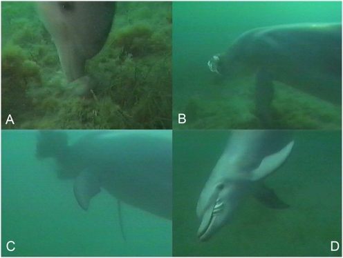 Prey handling of giant cuttlefish (Sepia apama) by Indo-Pacific bottlenose dolphin (Tursiops aduncus).Prey: (a) pinned to substrate and killed; (b) lifted towards surface; (c) beaten with snout to release ink; (d) consumed whole.