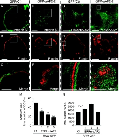 Integrin subunit β3 expression and localization are altered in GFP-ΔAF2-derived OCs. (A–L) β3 integrin subunit (A, D, C, and F in green), phosphorylated c-src (G, J, I, and L in green), and actin (B, C, E, F, H, I, K, and L in red) were immunostained in control (A–C; G–I) and in GFP-ΔAF2-2-derived OCs (D–F; J–L). Whereas control OC formed typical podosome belts with actin dots surrounded by β3 integrin and phosphorylated c-src (A–C; G–I), podosomes of GFP-ΔAF2-2-derived OCs were disorganized with mislocalized β3 integrin and phosphorylated c-src (D–F; J–L). Merged images of the closeup areas of actin, β3, and phosphorylated c-src respectively are also shown (C, F, I, and L). Bar=20 μm. (M) Adhesion ability was also evaluated (ANOVA, P=0·0001; ΔAF2 (1, 2, and 3)), while (N) OC viability was evaluated by counting the total number of OCs used in the adhesion test at T=0.