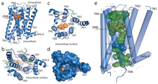The M2 receptor (blue ribbon) with bound QNB (orange spheres). a, M2 receptor in profile. b, Cytoplasmic surface showing conserved DRY residues in TM3. c, Extracellular view into QNB binding pocket. d, Extracellular view with solvent-accessible surface rendering shows a funnel-shaped vestibule and a nearly buried QNB binding pocket. e, Aqueous channel (green) extending from the extracellular surface into the transmembrane core is interrupted by a layer of three hydrophobic residues (blue spheres). Well-ordered water molecules are shown as red dots.