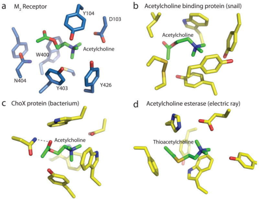 Convergent evolution of acetylcholine binding sites. a, Acetylcholine is modeled into the crystal structure of the M2 receptor. b, Acetylcholine binding pocket in the crystal structure of the acetylcholine binding protein from the snail Aplysia californica (PDB ID: 2XZ5). c, Acetylcholine binding pocket in the acetylcholine binding protein ChoX from the gram negative bacterium Sinorhizobium meliloti (PDB ID: 2RIN). d, Binding site for thio-acetylcholine in the enzyme acetylcholine esterase from the electric ray Torpedo californica (PDB ID: 2C4H).