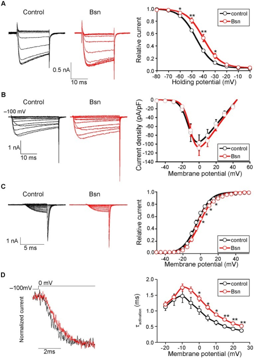 Inactivation properties of the P/Q-type VDCC were suppressed by Bassoon.(A) Left, inactivation of P/Q-type VDCC (Cav2.1) currents in BHK cells stably expressing VDCCs and transfected with an expression vector pBassoon-IRES2-GFP (Bsn, red) or an empty pIRES2-GFP vector (control, black). The peak amplitudes were normalized for Ba2+ currents elicited by 2-s pulses to 0 mV from a holding potential of –100 mV. Right graph shows inactivation curves for P/Q-type VDCCs with or without Bassoon. The half-inactivation potential was significantly higher in Bassoon expressing cells (–40.0±1.7 mV) compared to controls (–46.1±0.6 mV). (B) I-V relationships of P/Q-type VDCC showed no difference between with or without Bassoon. Left, representative traces are Ba2+ currents of Cav2.1 with or without Bassoon by applying test pluses from –100 mV (holding potential) to –50 mV up to 40 mV in 10 mV increments. Right graph shows current density-voltage (I-V) relationships. (C) The activation property of P/Q-type VDCCs in the presence of Bassoon exhibited a depolarization shift. Left, effects of Bassoon on activation of Cav2.1 currents elicited in BHK cells. Tail currents were elicited by repolarization to –60 mV after 5-ms test pulse from –50 to 55 mV with 5 mV increments. Right, activation curves were determined using these tail currents with or without Bassoon. The half-activation potential was significantly higher in Bassoon expressing cells (–0.7±1.1 mV) compared to controls (–4.0±1.1 mV). (D) Activation kinetics of P/Q-type VDCC currents. Left, tail currents were evoked by 5 ms depolarization from the holding potential (–100 mV) to 0 mV. Right graph shows the activation time constants (τ activation) with or without Bassoon. The activation time constant (τ) increased significantly in the presence of Bassoon at membrane potentials higher than 0 mV. Recordings from eight independent cells were averaged and the mean ± SEM are shown. Asterisks indicate significant difference compared to the controls, *p<0.05, **p<0.01.