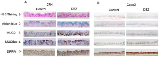 Morphological and immunohistochemical patterns of differentiation of filter-grown HT29-Cl.27H and Caco2 cells upon γ-secretase inhibition.HT29-Cl.27H (A) or Caco2 (B) cells were seeded at high density on filters and treated or not (control, DMSO 0.01%) with DBZ (0.46 µM) for 21 days (see Material and Methods). Then the filters were fixed, embedded in paraffin and sectioned perpendicularly to the culture plane. The slides were stained with HES and Alcian Blue. MUC2, MUC5AC, and DPPIV expression were detected by immunohistochemistry as described in material and methods.