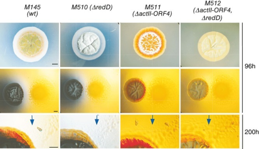 Analysis of the interaction between different mutants of S. coelicolor and M. xanthus DK1622 on CTT agar plates. Blue arrows point to M. xanthus cells moving towards S. coelicolor. Bars represent 2 mm.