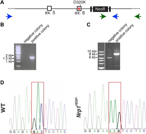 Screening and verification of ES cells for the generation of the Nrp1VEGF− mutant.(A) Diagram of the Nrp1 genomic region following successful homologous recombination to insert the targeting vector. The green arrows indicate the primers used in (B), while the blue arrows represent the primers used in (C). (B) PCR screening for the proper insertion of the 3′ homology arm. The 5′ primer was located in the NeoR sequence while the 3′ primer bound to an area outside of the targeting vector. Therefore, WT colonies did not produce a band, while correctly targeted clones produced a band of 1.7 kb. (C) PCR screening for the proper insertion of the 5′ homology arm. The 5′ primer was located outside of the targeting vector area and the 3′ primer was located within the genomic sequence present in the 3′ homology arm. Thus, PCR from a properly targeted clone produced a fragment that was 1.5 kb larger than a negative colony. (D) Sequencing of the D320K region in WT and Nrp1VEGF− homozygous mutants. The boxed region indicates the altered codon.DOI:http://dx.doi.org/10.7554/eLife.03720.008