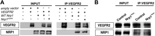 VEGF-NRP1 binding is not required for NRP1-VEGFR2 complex formation in vitro and in vivo.(A) HEK293T cells transfected with Vegfr2 and either WT Nrp1 or Nrp1D230K exhibited normal NRP1-VEGFR2 complex formation. (B) Lung lysates generated from the Nrp1VEGF− mutants also displayed normal NRP1-VEGFR2 complex formation comparable to littermate controls.DOI:http://dx.doi.org/10.7554/eLife.03720.013