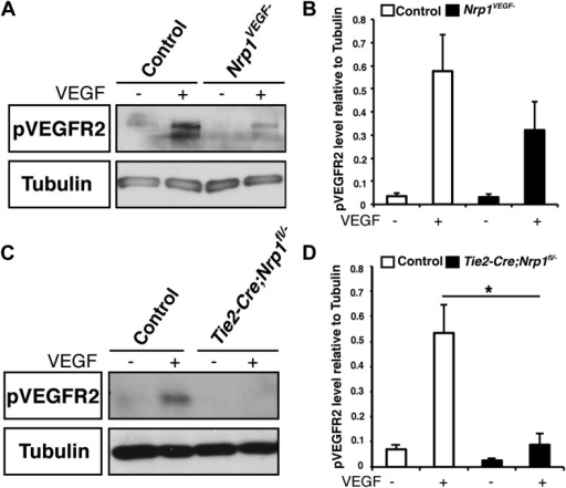 VEGF-induced VEGFR2 phosphorylation is reduced in both the Nrp1VEGF− and Tie2-Cre;Nrp1fl/− mutants.(A) Western blot from E14.5 lung tissue shows that VEGFR2 phosphorylation upon VEGF treatment was diminished in the Nrp1VEGF− mutant. (B) Quantification of VEGFR2 phosphorylation shown in A, n = 7. (C) Western blot from E14.5 lung tissue demonstrates that VEGFR2 phosphorylation is significantly reduced in the Tie2-Cre;Nrp1fl/− mutants. (D) Quantification of VEGFR2 phosphorylation shown in B, n = 5.DOI:http://dx.doi.org/10.7554/eLife.03720.014