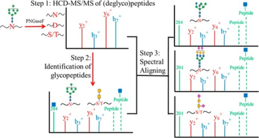 Schematic representationof the HCD spectral-aligning strategyfor analysis of glycopeptides. Step 1, experimental b- and y-ionsof deglycosylated peptide backbones were recorded from sample treatedwith PNGaseF. Step 2, these b- and y-ions of the deglycosylated peptideswere used to screen the MS/MS spectra containing oxonium ions fromthe raw file for sample without PNGaseF treatment to identify putativeglycopeptides. The putative glycopeptides were further evaluated byprecursor ions, mass difference between glycopeptides and deglycosylatedpeptides, and Y-ions in the MS/MS spectra of the glycopeptides. Step3, the identified MS/MS spectra of glycopeptides were used as spectraltemplates to identify other glycopeptides with the same peptide backbonebut in different glycoforms.