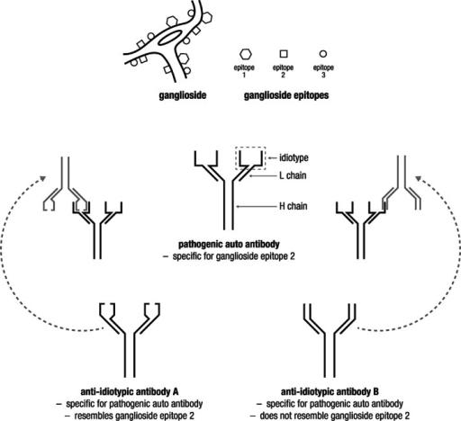 Structure Of IgG Molecule Illustrating Antigen-binding