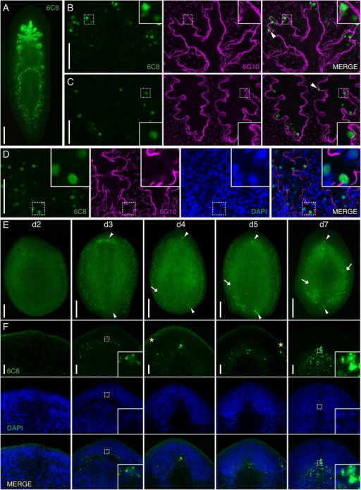 Smed-6C8 labels intestinal cells and cells near the regeneration blastema. (A-C) Whole-mount view of intact or regenerating planarians immunostained with 6C8 (green) and co-labeled with 6G10 (magenta) in panels B-D and/or counterstained with DAPI (blue) in D and F. (A) 6C8-labeled cells near or within the intestine. (B, C) 6C8 cells are located within the anterior (shown in B) and posterior (shown in C) intestinal branches or in contact with the enteric musculature wall, which is delineated with 6G10 labeling. Examples of cells observed outside the enteric muscle boundary are highlighted with arrowheads. (D) 6C8 labels cell nuclei (observed within the boundary of the enteric musculature). (E, F) 6C8+ cells appear near the anterior and posterior regeneration blastemas at 3 dpa and are detected in the blastema at all later timepoints assayed (examples highlighted with arrowheads). By 5 dpa, examples of 6C8+ cells were detected far from the blastemas (arrows). Higher magnification image of the anterior blastema shown in F. Yellow asterisks indicate non-specific labeling of secretory cells. Dashed boxes indicate the area of the high magnification image shown in the insets. Images are maximum intensity projections except for A and E. Anterior of is to the top in all images. Scale bars: (A, E) 200 μm; (B-D, F) 50 μm.