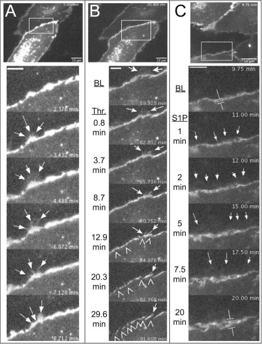 Local lamellipodia protruded beyond endothelial adherens junctions containing VE-cadherin-GFP and were associated with junction stability.At the top of all three panels, an image of HUVEC expressing VE-cadherin-GFP is shown. The bounding box in each top image shows the area studied in the time-lapse montages below. Confluent monolayers were used for all experiments, but not all cells expressed detectable levels of VE-cadherin-GFP. A. Time-lapse imaging revealed that VE-cadherin-GFP was most intense at intercellular junctions and in vesicles around the nucleus. Select time-lapse images (from S6 Movie) of the area in the box from top panel show the protrusion and withdrawal of a local lamellipodium (arrows) that spread toward the cell in the top of the image from the belt of VE-cadherin-GFP located between two cells. B. The same cells were tracked just before and during 1 U/ml thrombin treatment. Selected time-lapse images from the bounding box in the top panel (from S7 Movie) show how the withdrawal of a local lamellipodium that had protruded prior to thrombin treatment yielded filopodia-like structures containing VE-cadherin (arrows). Subsequently, as fewer lamellipodia protruded from the cell edge, breaks in the continuous belt of VE-cadherin emerged (arrowheads). C. Time-lapse studies before and after treatment with 2 μM S1P (from S8 Movie) show that lamellipodia spread beyond the VE-cadherin-GFP-rich junctions (arrows). In addition, over time the junctional areas containing VE-cadherin-GFP appeared wider than during baseline (compare the calipers at BL and 20 min). Images are representative of observations from at least three different experiments each with thrombin and S1P.