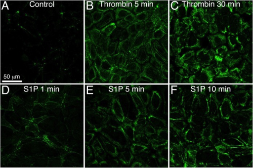 Thrombin and S1P increase phosphorylation of MLC on Thr-18/Ser-19.Confocal images of immunofluorescence labeling of dually phosphorylated myosin within HUVEC monolayers are shown. The cells were either untreated controls (A) or treated with 1 U/ml thrombin (B, C) or 2 μM S1P (D, E, F) for the durations indicated in each panel. Scale bar = 50 μm. Representative of three separate experiments.