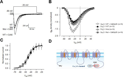 Mutation of Serine 2234 abolishes Cdk5/p35-mediated regulation of CaV3.1 channels.A) Representative macroscopic current traces recorded from HEK-293 cells transiently transfected with plasmid constructs encoding wild-type and S2234A mutant CaV3.1 channels alone or in conjunction with plasmids encoding Cdk5 and p35. Currents were elicited by depolarizing steps from a Vh of −80 mV to −30 mV. Ba2+ (2 mM) was used as the charge carrier. B) Comparison of normalized current density-voltage relationships in wild-type and S2234A mutant CaV3.1 channel transfected HEK-293 cells in the presence or absence of the Cdk5/p35 complex. C) Cdk5/p35 coexpression in HEK-293 cells expressing the wild-type and S2234A mutant channels did not affect the voltage dependence of current activation. The normalized G-V curves were fit by a single Boltzmann as described in Methods. Data analysis showed negligible differences in V½ or the slope factor (k). D) The CaV3.1 T-type channels and the Cdk5/p35 complex may interact resulting in a Cdk5/p35-mediated increase in channel cell surface expression and current density, via a functional phosphorylation site at S2234 located within the C-terminus of the CaV3.1α1 protein.