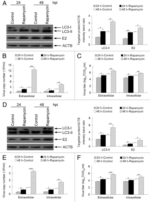 Figure 7. Induction of autophagy with rapamycin enhances CSFV replication. (A and D) PK-15 (A) and 3D4/2 (D) cells were pretreated with rapamycin (100 nM) or DMSO (Control) for 1 h, followed by CSFV adsorption for 1 h at an MOI of 0.5. The cells were further cultured in fresh medium in the absence or presence of rapamycin (100 nM). At 24 and 48 hpi, cell samples were analyzed by immunoblotting with antibodies against LC3B, CSFV-E2, and ACTB (loading control). The relative levels of the targeted proteins were estimated by densitometric scanning, and the ratios were calculated relative to ACTB. The data represent the mean ± SD of 3 independent experiments. Two-way ANOVA; *P < 0.05; **P < 0.01. (B and E) PK-15 (B) and 3D4/2 (E) cells were pretreated and infected as described in (A and D). At 24 and 48 hpi, both the extracellular and intracellular copy numbers of CSFV were detected by qRT-PCR. The data represent the mean ± SD of 3 independent experiments. Two-way ANOVA; *P < 0.05; **P < 0.01; ***P < 0.001. (C and F) PK-15 (C) and 3D4/2 (F) cells were pretreated and infected as described in (A and D). At 24 and 48 hpi, both the extracellular and intracellular virus titers were measured by endpoint dilution titrations by using an immunofluorescence assay as described in Materials and Methods. Results are expressed in units of TCID50/ml. The data represent the mean ± SD of 3 independent experiments. Two-way ANOVA; *P < 0.05; **P < 0.01; ***P < 0.001.