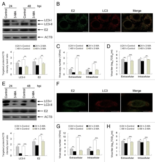 Figure 8. Inhibition of autophagy with 3-MA reduces CSFV replication. (A and E) PK-15 (A) and 3D4/2 (E) cells were pretreated with 3-MA (5 mM) or DMSO (Control) for 4 h. After 1 h of virus absorption at an MOI of 0.5, the cells were further cultured in fresh medium in the absence or presence of 3-MA (5 mM). At 24 and 48 hpi, cell samples were analyzed as described in the legend to Figure 7A and D. The data represent the mean ± SD of 3 independent experiments. Two-way ANOVA; *P < 0.05; **P < 0.01; ***P < 0.001. (B and F) PK-15 (B) and 3D4/2 (F) cells were pretreated with 3-MA for 4 h. After 1 h of virus absorption at an MOI of 0.5, the cells were further cultured in fresh medium in the presence of 3-MA (5 mM). At 48 hpi, the cells were analyzed with antibodies against LC3B and E2, as described in the legend to Figure 4. The fluorescence signals were visualized with confocal immunofluorescence microscopy. In the images, E2 staining is shown in green, LC3 staining is shown in red, and the signals of colocalization are shown in the merged images. Scale bar: 10 μm. One of 3 independent experiments is shown. (C and G) PK-15 (C) and 3D4/2 (G) cells were pretreated and infected as described in (A and E). At 24 and 48 hpi, both the extracellular and intracellular copy numbers of CSFV were detected by qRT-PCR. The data represent the mean ± SD of 3 independent experiments. Two-way ANOVA; **P < 0.01; ***P < 0.001. (D and H) PK-15 (D) and 3D4/2 (H) cells were pretreated and infected as described in (A and E). At 24 and 48 hpi, both the extracellular and intracellular virus titers were measured by endpoint dilution titrations by using the immunofluorescence assay described in Materials and Methods. Results are expressed in units of TCID50/ml. The data represent the mean ± SD of 3 independent experiments. Two-way ANOVA; *P < 0.05; **P < 0.01; ***P < 0.001.