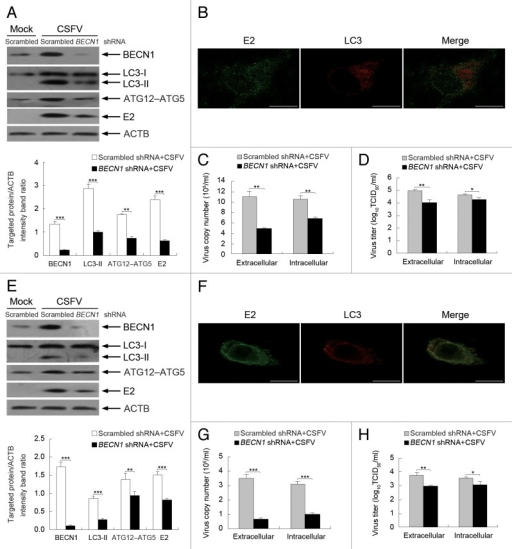 Figure 9. Inhibition of autophagy with specific shRNA targeting BECN1 reduces CSFV replication. (A and E) PK-15 (A) and 3D4/2 (E) cells were transfected with shRNAs targeting BECN1 or scrambled shRNAs for 48 h, followed by mock infection and CSFV infection at an MOI of 0.5. At 24 hpi, the silencing efficiency of BECN1 shRNA and the expression of autophagy marker proteins and CSFV-E2 were analyzed as described in the legend to Figure 2A. The data represent the mean ± SD of 3 independent experiments. Two-way ANOVA; **P < 0.01; ***P < 0.001. (B and F) PK-15 (B) and 3D4/2 (F) cells were transfected with BECN1 shRNA for 48 h, followed by CSFV infection at an MOI of 0.5. At 24 hpi, the cells were analyzed as described in the legend to Figure 8B and F. Scale bar: 10 μm. One of 3 independent experiments is shown. (C and G) PK-15 (C) and 3D4/2 (G) cells were transfected as described in (A and E), followed by CSFV infection at an MOI of 0.5 for 24 h. Both the extracellular and intracellular copy numbers of CSFV were detected by qRT-PCR. The data represent the mean ± SD of 3 independent experiments. Two-way ANOVA; **P < 0.01; ***P < 0.001. (D and H) PK-15 (D) and 3D4/2 (H) cells were transfected and infected as described in (C) and (G). At 24 hpi, both the extracellular and intracellular virus titers were measured by endpoint dilution titrations by using the immunofluorescence assay described in Materials and Methods. Results are expressed in units of TCID50/ml. The data represent the mean ± SD of 3 independent experiments. Two-way ANOVA; *P < 0.05; **P < 0.01.