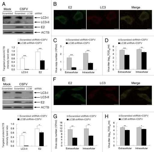 Figure 10. Inhibition of autophagy with LC3B-targeting shRNA reduces the replication of CSFV. (A and E) PK-15 (A) and 3D4/2 (E) cells were transfected with shRNAs targeting LC3B or scrambled shRNAs for 48 h, followed by mock infection and CSFV infection at an MOI of 0.5. At 24 hpi, the silencing efficiency of LC3B shRNA, as well as the expression of autophagy marker proteins and CSFV-E2 were analyzed as described in the legend to Figure 2A. The data represent the mean ± SD of 3 independent experiments. Two-way ANOVA; *P < 0.05; ***P < 0.001. (B and F) PK-15 (B) and 3D4/2 (F) cells were transfected with LC3B shRNA for 48 h, followed by CSFV infection at an MOI of 0.5. At 24 hpi, the cells were analyzed as described in the legend to Figure 8B and F. Scale bar: 10 μm. One of 3 independent experiments is shown. (C and G) PK-15 (C) and 3D4/2 (G) cells were transfected as described in (A and E), followed by CSFV infection at an MOI of 0.5 for 24 h. Both the extracellular and intracellular copy numbers of CSFV were detected by qRT-PCR. The data represent the mean ± SD of 3 independent experiments. Two-way ANOVA; **P < 0.01; ***P < 0.001. (D and H) PK-15 (D) and 3D4/2 (H) cells were transfected and infected as described in (C and G). At 24 hpi, both the extracellular and intracellular virus titers were measured by endpoint dilution titrations by using the immunofluorescence assay described in Materials and Methods. Results are expressed in units of TCID50/ml. The data represent the mean ± SD of 3 independent experiments. Two-way ANOVA; . *P < 0.05; **P < 0.01; ***P < 0.001.