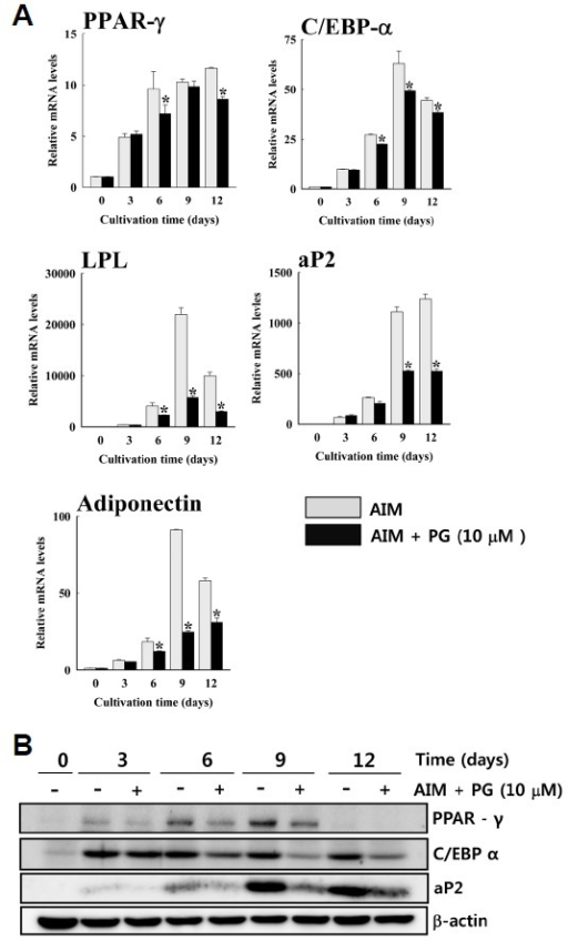 Propyl gallate (PG) decreases mRNA and protein level of adipocyte-specific markers. (A) hAMSCs were cultured in AIM with or without 10 μM PG. Gene expression of C/EBP-α, PPAR-γ, LPL, aP2, and adiponectin was examined by real-time PCR. The mean values obtained from vehicle-treated cells at 0 day were considered as 1.0. Others were relative values. Values are presented as mean ± SD. Error bars indicate results range for treatment performed in triplicates. *p < 0.05 compared to control. Results are representative of two independent experiments; (B) PG decreases expression of adipocyte-specific marker proteins. Protein levels of adipogenic markers were examined during adipogenesis. Results are representative of three independent experiments. aP2: adipocyte fatty acid-binding protein; C/EBP-α: CCAAT enhancer binding protein-α LPL, lipoprotein lipase; PCR: polymerase chain reaction; PPAR-γ: peroxisome proliferator-activated receptor-γ.