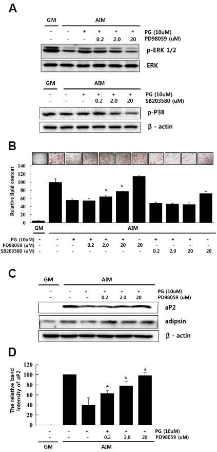 Propyl gallate (PG) negatively regulates adipogenesis through ERK activation. (A) hAMSCs were pre-treated with vehicle or PD98059 for 1 h before the addition of AIM containing 10 μM PG. ERK1/2 phosphorylation was monitored by immunoblotting 30 min after PG treatment. hAMSCs were pre-treated with vehicle or SB203580 for 1 h before the addition of AIM containing 10 μM PG. p38 phosphorylation was monitored by immunoblotting 30 min after the PG treatment; (B) hAMSCs were cultured under adipogenic differentiation conditions with or without PG (10 μM). The effect of PD98059 or SB203580 was examined. Lipid accumulation was confirmed by Oil Red-O staining at 14 days after adipogenic induction. Values represent the mean ± SD; (C) The expression of adipogenic markers aP2 and adipsin was examined in PG-treated cells with or without treatment with PD98059; (D) aP2 protein levels in hAMSCs were examined at day 14 after adipogenic induction. The levels of aP2 were normalized to actin. hAMSCs: human adi-pose tissue-derived mesenchymal stem cells; AIM: adipogenic induction medium; ERK: extracellular regulated kinase.