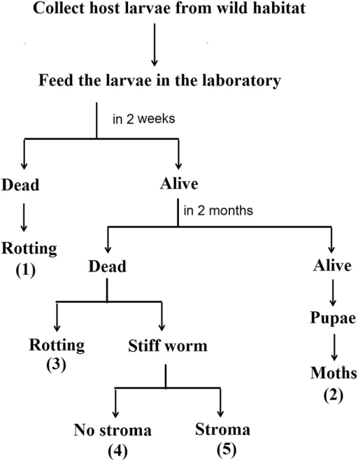Outcomes of Thitarodes larvae in the laboratory.