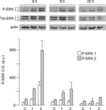 Time-dependent stimulation of P-ERK1/2 in HUVECs treated with peaks eluting from the PG column. Whole lysates of cells grown in serum-free medium and treated with peaks from the PG column were analysed in Western blotting with anti-total and anti-P-ERK1/2 polyclonal Abs, as specified in Materials and Methods. The same membranes were then stripped and tested with anti-β actin Abs for normalization of the protein content. In the figure are shown: a representative blotting of two separate experiments (above), and the corresponding graphical representation of the intensity (means ± S.D., n= 2) of the P-ERK1/2 bands measured by the densitometric analysis (below).