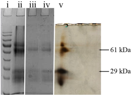 "1D and 2D gel electrophoresis of glycoprotein G208. Lane ""i"" – protein molecular weight standards, ""ii"" – buckwheat honey H208, ""iii"" – glycoprotein G208, ""iv"" – glycoprotein G217, ""v"" – 2D gel electrophoresis of G208. The arrows indicate location of 61 and 29 kDa bands. The line over 2D represents pH gradient from pH 3 (left) to pH 10 (right)."