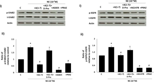 Ang-(1–7) via its Mas receptor inhibits NE-mediated transactivation of (A) ErbB2 and (B) EGFR receptors in VSMC.In both A) and B) panel (i) is a representative Western blot showing either the levels of total (t-) or phosphorylated (p-) ErbB2 receptor (Y1221/1222) or EGFR (Y1068) and total β-actin in VSMC grown in normal (5.5 mM) D-glucose (NG), or NG treated with NE (10-7M) or NE together with 1 micromolar Ang-(1–7) (+ A(1–7), or A(1–7) together with D-Pro7-Ang-(1–7) (lane labeled as + A(1–7) +D-Pro), AG1478 (1μM) or AG825 (0.1μM) or 1 micromolar Prazosin (labelled as NE 10−7 + PRAZ); Panels ii is the densitometry histogram showing ratio levels of stated phosphorylated to total proteins following normalization of each to actin and presented relative to control. N = 5; Mean ± SD. Asterisk (*) indicates significantly different (p<0.05) mean values from NG whereas hash (#) indicates significantly different mean values (p<0.05) from NG at 10-7M dose.