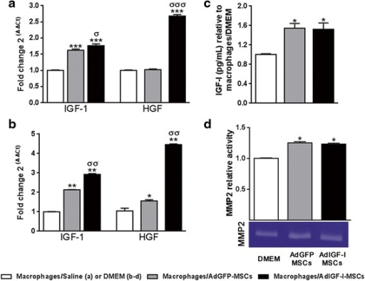 Increased growth factors levels and MMP2 activity in hepatic macrophages after MSCs treatment. Quantitative analyses of IGF-I and HGF mRNA expression levels in macrophages, on in vivo (a) or in vitro (b) experiments, after saline/DMEM (white bars), AdGFP-MSCs (gray) or AdIGF-I-MSCs (black) pretreatments. c IGF-I protein levels in hMø supernatants on in vitro experiments. Macrophages obtained from fibrotic livers were preincubated with conditioned media on in vitro studies. ANOVA Tukey's post-test, *p < 0.05; **p < 0.01 and ***p < 0.001 vs. macrophages/saline (in vivo) or macrophages/DMEM (in vitro); σp < 0.05, σσp < 0.01 and σσσp < 0.001 vs macrophages/AdGFP-MSCs conditions. d MMP-2 activity in hMø supernatants after in vitro incubation evaluated by zymography. One representative zymogram is shown. Band intensity of three independent experiments was detected by densitometric evaluation and plotted as MMP-2 relative activity of DMEM/macrophages condition. Dunn's multiple comparisons test, *p < 0.05 and **p < 0.01 macrophages/DMEM