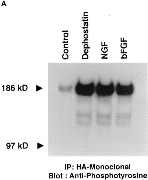 Neurofascin is phosphorylated in vivo by activation of tyrosine kinase signaling cascades or inactivation of tyrosine phosphatases. (A) HA epitope-tagged neurofascin was expressed in the rat neuroblastoma B104 cell line. Transfected cells were treated with  one of the following agents for 30 min: dephostatin (10 μM), NGF (100 ng/ml), or bFGF (50 ng/ml). Neurofascin was subsequently immunoprecipitated from 500 μg crude cell extract using an HA-specific monoclonal antibody. Immune complexes were then electrophoresed on SDS-PAGE and transferred to nitrocellulose. Immunoblots were probed overnight at 4°C with a phosphotyrosine-specific  polyclonal antibody followed by incubation with 125I-radiolabeled protein A. Blots were visualized via autoradiography. (B) HA  epitope-tagged neurofascin was expressed in the rat neuroblastoma B104 cell line. Transfected cells were treated with one of the following agents (at the noted concentrations) for 30 min: vanadate, dephostatin, NGF, or bNGF. Neurofascin was immunoprecipitated from  500 μg crude cell lysate using the HA-specific monoclonal antibody. Immune complexes were electrophoresed on SDS-PAGE and  transferred to nitrocellulose. Blots were probed with the phosphotyrosine-specific polyclonal antibody followed by incubation with 125Iradiolabeled protein A. Subsequently, blots were subjected to Phosphorimage scanning to quantitate the extent of tyrosine phosphorylation of full length neurofascin under the given treatment conditions.