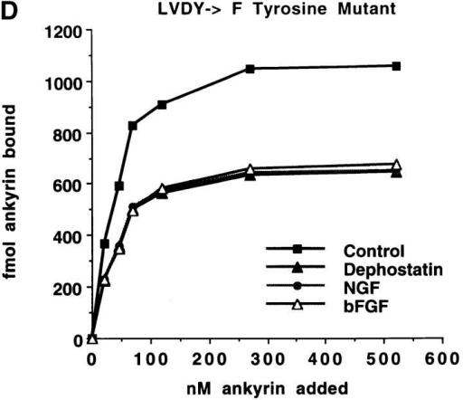 FIGQY is the primary site of tyrosine phosphorylation on neurofascin and decreases ankyrin-binding capacity in a site-specific manner. (A) Neurofascin was immunoprecipitated after a 30-min treatment of the LVDY to F and the FIGQY to F neurofascin  transfected cells with one of the following agents: dephostatin (10 μM), NGF (100 ng/ml), or bFGF (50 ng/ml). Subsequent immunoblots  were probed with the anti-phosphotyrosine antibody overnight at 4°C followed by 125I-labeled protein A. (B) The immunoblot visualized above was subjected to Phosphorimage scanning to quantitate the extent of tyrosine phosphorylation of full length neurofascin under the given treatment conditions. The phosphotyrosine signals for both tyrosine mutants are expressed relative to the signals obtained  from treatment of B104 cells expressing native, full length neurofascin (Fig. 1 A). All cells were treated during the same experiment. (C)  Neurofascin was immunoprecipitated from each treatment group for each denoted cell line. Immune complexes were electrophoresed  on SDS-PAGE, and resolved proteins were transferred to nitrocellulose. Blots were incubated with the brain ankyrin-specific polyclonal antibody followed by 125I-labeled protein A. (D) Neurofascin was immunoprecipitated following noted treatments from each cell  line. Immune complexes, captured via protein A-labeled latex beads, were then used in the ankyrin binding assay that has been described above. The LVDY to F tyrosine mutant, with an intact FIGQY tyrosine residue, is subject to ankyrin binding regulation via tyrosine phosphorylation, whereas the FIGQY to F tyrosine mutant is resistant to phosphorylation-induced decreases in the in vitro  ankyrin binding assays.
