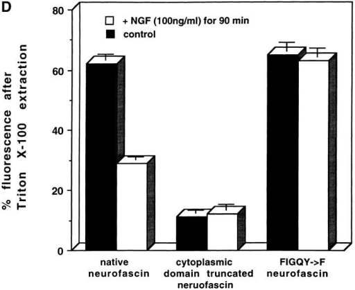 Phosphorylation  of the FIGQY tyrosine increases detergent extractability of neurofascin. (A) Control cells were first fixed with  2% paraformaldehyde for 20  min at 4°C and then treated  with a PBS blocking buffer  (150 mM NaCl, 30 mM sodium phosphate, pH 7.4, 1%  BSA, and 10% normal goat  serum) for 30 min. Cells were  subsequently treated with  0.2% Triton X-100 in the  PBS blocking solution for 10  min at room temperature  and washed with a 0.2%  Tween-20 solution. (B) Cells  were first treated with 0.2%  Triton X-100 in DMEM cell  culture media (GIBCO  BRL) for 10 min at room  temperature and then subsequently fixed with 2%  paraformaldehyde for 20 min  at 4°C. Cells were then incubated with PBS blocking  buffer for 30 min and washed with a 0.2% Tween-20 solution. (C)  Cells were incubated with 100 ng/ml NGF for 90 min before the  treatment described in (B). After fixation, all cells were incubated overnight at 4°C with the HA-specific monoclonal antibody  (1:1,000). Cells were washed in 0.2% Tween-20 buffer and subsequently incubated with anti–rabbit FITC-conjugated secondary  antibody (1:2,000) for 2 h at 4°C. Finally, cells were washed with  the 0.2% Tween-20 solution. Confocal images and fluorescence  intensities (intensity/μm2) were obtained with an LSM Zeiss confocal microscope using a Zeiss data analysis software package.  (D) Quantitative analysis of fluorescence intensities. Cells  treated with 0.2% Triton X-100 before paraformaldehyde fixation are presented relative to fluorescence intensities for cells  that were paraformaldehyde fixed before Triton X-100 extraction.