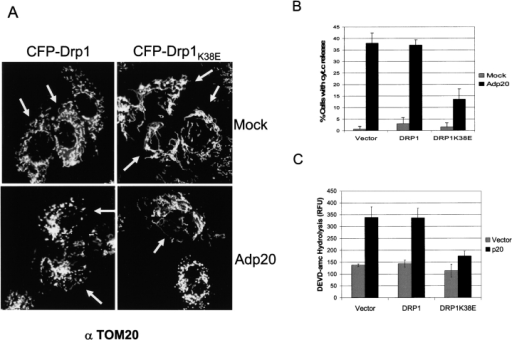 Expression of a Drp1K38E dominant-negative mutant inhibits p20 induced disruption of the mitochondrial network. (A) Rat1 fibroblasts were transiently transfected with CFP-Drp1 or CFP- Drp1K38E, then either mock infected or infected with Adp20 in the presence of zVAD-fmk. 24 h post-infection cells were fixed, stained with anti-TOM20, and analyzed by fluorescence microscopy. Cells expressing CFP-Drp1 or CFP- Drp1K38E were identified under the cyan filter and are indicated with an arrow. (B) CFP- Drp1K38E inhibits cyt.c release. H1299 cells were treated as in B for 36 h, and immunofluorescence microscopy was used to assess the distribution of cyt.c in cells positive for CFP fluorescence. Shown is the mean ± SD of four independent experiments. (C) H1299 cells were transiently cotransfected with the indicated constructs and 36 h post-transfection cell lysates were collected and processed for DEVDase activity, shown is the mean ± SD of three independent experiments.