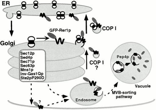 Model of the dynamic function of Rer1p. Rer1p recognizes the signal in the TMD of cargo proteins and actively recycles between the early Golgi and the ER. When it is mislocalized to the late Golgi, it is retrieved to the early Golgi by the COPI vesicles (solid arrows). In COPI mutants, Rer1p is no longer able to localize to the Golgi and is transported to the vacuole via the MVB sorting pathway (broken arrows).