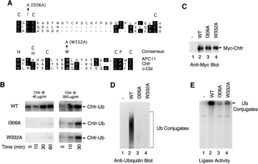 The ring finger domain is required for the Chfr ligase activity. (A) Alignment of the ring finger domains from APC11, Chfr, and c-Cbl. (B) Purified recombinant Chfr, ChfrI306A, and ChfrW332A, at concentrations indicated, were incubated with radioactive ubiquitin in the presence of E1 and Ubc4, and the kinetics of ubiquitin conjugate formation was followed by reducing SDS-PAGE. At the Chfr concentrations used here, all the ubiquitin conjugates stayed in the wells of the stacking gel and therefore only that portion of the gel is shown. (C–E) Myc–Chfr (lanes 2), Myc–ChfrI306A (lanes 3), Myc–ChfrW332A (lanes 4), and control vector (lanes 1) were transfected into HEK293T cells and immunoprecipitated by an anti-Myc antibody. The immunoprecipitates were analyzed by Western blotting with an anti-Myc antibody (C) or with an anti-ubiquitin antibody (D). In addition, immunoprecipitates were incubated with radioactive ubiquitin in the presence of recombinant E1 and Ubc4 and assayed for ubiquitin ligase activity (E). Arrow in E points to the wells of the stacking gel.