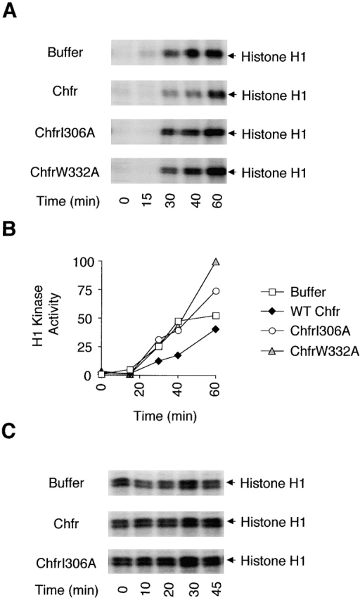 Chfr delays the activation of the Cdc2 kinase at the G2-M transition. (A and B) Xenopus interphase extracts were incubated with a buffer, Chfr, ChfrI306A, or ChfrW332A. Δ90 cyclin B was then added and the kinetics of the activation of the Cdc2 kinase was analyzed by measuring the phosphorylation of histone H1 with radioactive γ-ATP. The Cdc2 kinase activity was quantitated and plotted against time (B). The unit for kinase activity is arbitrary. In five separate experiments, the wild-type Chfr protein always delayed the activation of Cdc2 kinase. The levels of the Cdc2 activity at 60 min, from extracts treated with ChfrI306A and ChfrW332A, were slightly variable; in some experiments, these levels were close to, instead of higher than, that of the buffer control. (C) Xenopus mitotic extracts were incubated with a buffer, Chfr, or ChfrI306A, and the level of the Cdc2 kinase activity was analyzed using histone H1 as a substrate.