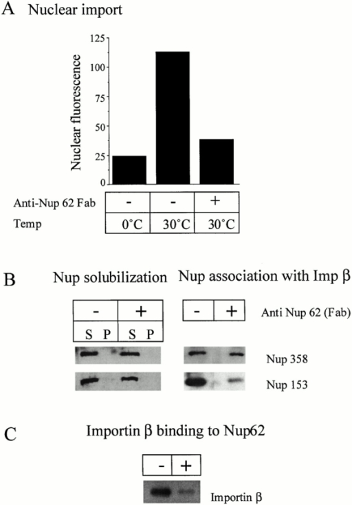 Role of the Nup62 complex in nuclear import. Shown are the effects of anti-Nup62 Fab fragment on (A) NLS-mediated import in NRK cells; (B) the solubilization of Nup358 and Nup153 (left) and the association of importin β with these Nups (right); and (C) the binding of importin β to GST-Nup62.