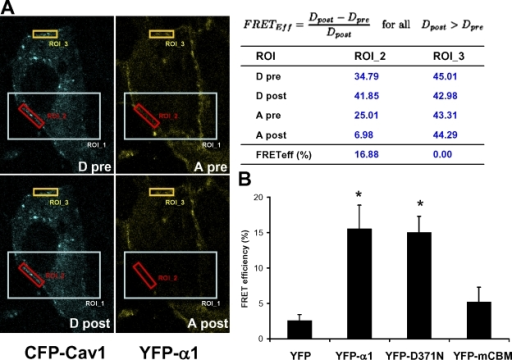 FRET analyses of the interaction between Cav1 and Na/K-ATPase α1 subunit. YFP- tagged α1, D371N, or mCBM was transfected together with CFP-Cav1 into TCN23-19 cells. FRET analyses were done as described in Materials and methods. YFP-only and CFP-Cav1–transfected cells were used as a negative control. (A) Images were taken before and after photobleaching. The ROI_1 was bleached at 515 nm with full power. Small regions of plasma membrane in (ROI_2) and out (ROI_3) of the bleached area were selected for measurement, and FRET efficiency was calculated from the measurements using the equation as shown in the table. Bar, 2 μm. (B) Corrected FRET efficiency was calculated from each experiment and values are mean ± SE of 4–5 independent experiments. *, P < 0.05 in comparison to control.