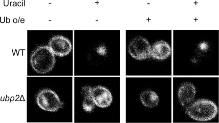 The overexpression of ubiquitin does not rescue the sorting defect in ubp2Δ cells.pFUR4-GFP and a plasmid overexpressing ubiquitin (+) or an empty plasmid (−) were transformed into cells. Strains were grown in sucrose, and diluted to OD600 = 0.5 in media containing galactose and 0.1 mM copper sulphate (to overexpress ubiquitin) and grown for 4 hours. Fur4 transcription was stopped by adding glucose for 1 hour to chase Fur4 to the plasma membrane. Uracil (40 µg/ml) was then added to induce Fur4 internalization. The GFP signal was viewed by fluorescence confocal microscopy before (−) and at 60 min after (+) uracil addition. Note that the left panel contains the same images as Figure 7, as the experiments were done in parallel.